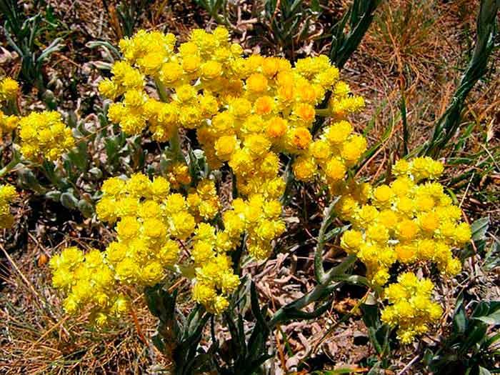 Primavera Bio Immortelle (szalmagyopár) víz ml