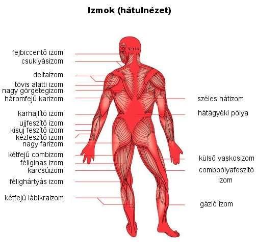 a hajlító izmok fiziológiai hipertóniája orvosi központ hipertónia