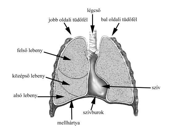 a pulmonalis keringés patogenezisének magas vérnyomása
