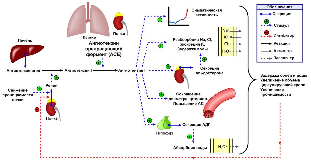 Hipertónia 1 fok: a fejlődés, a diagnózis és a kezelés mechanizmusa - Diagnosztika