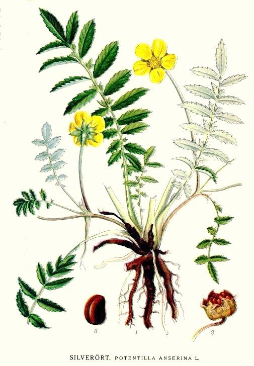 Gyógynövény kisokos